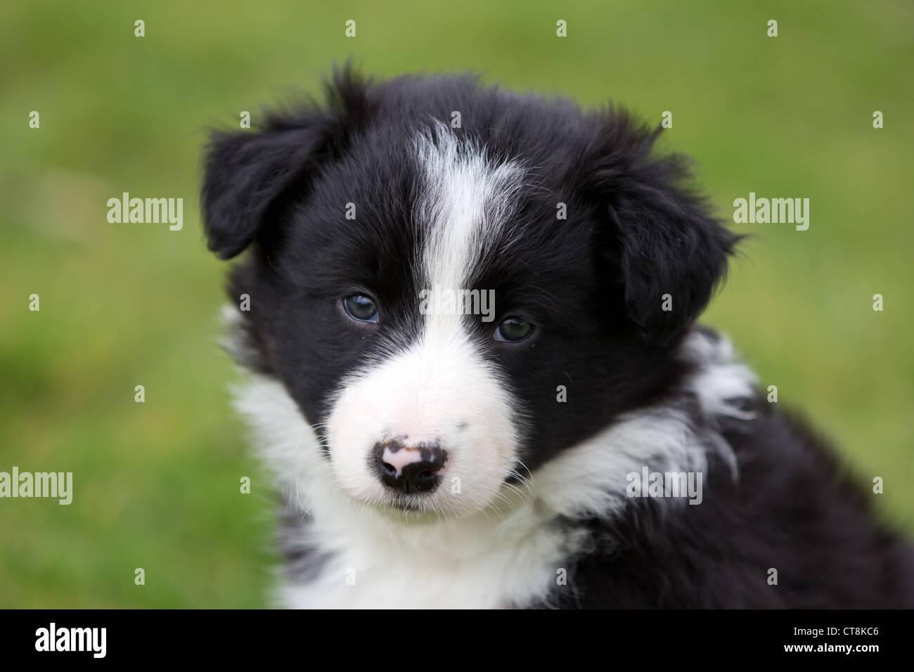black white puppy stock photos black white puppy stock images