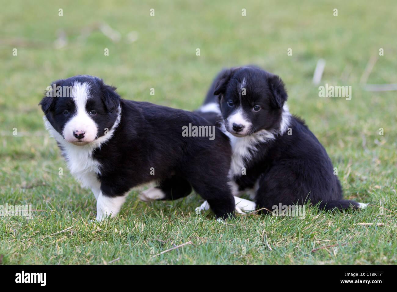 black white puppies stock photos black white puppies stock