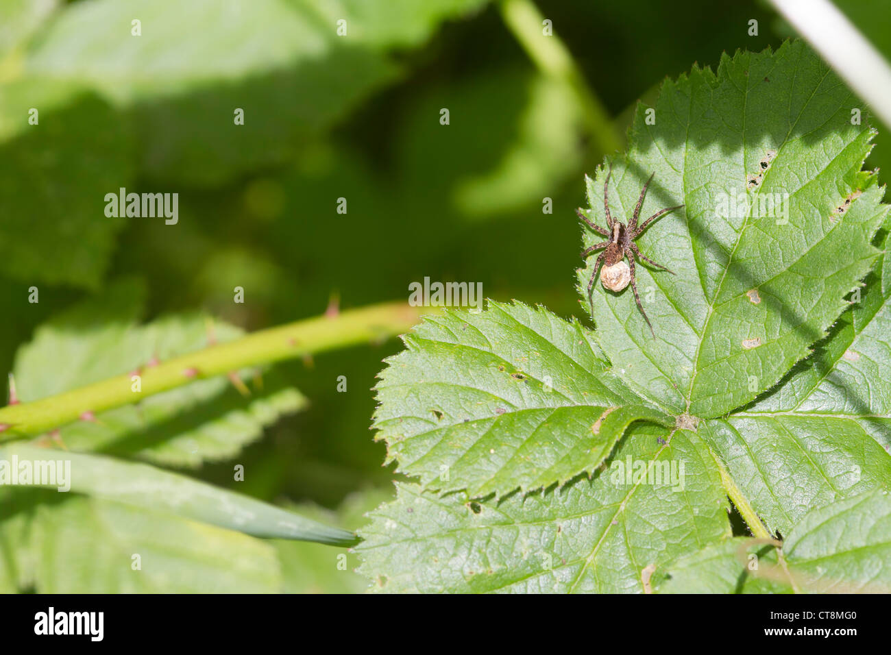 Spider ( Pardosa monticola) on a leaf With eggs - Stock Image