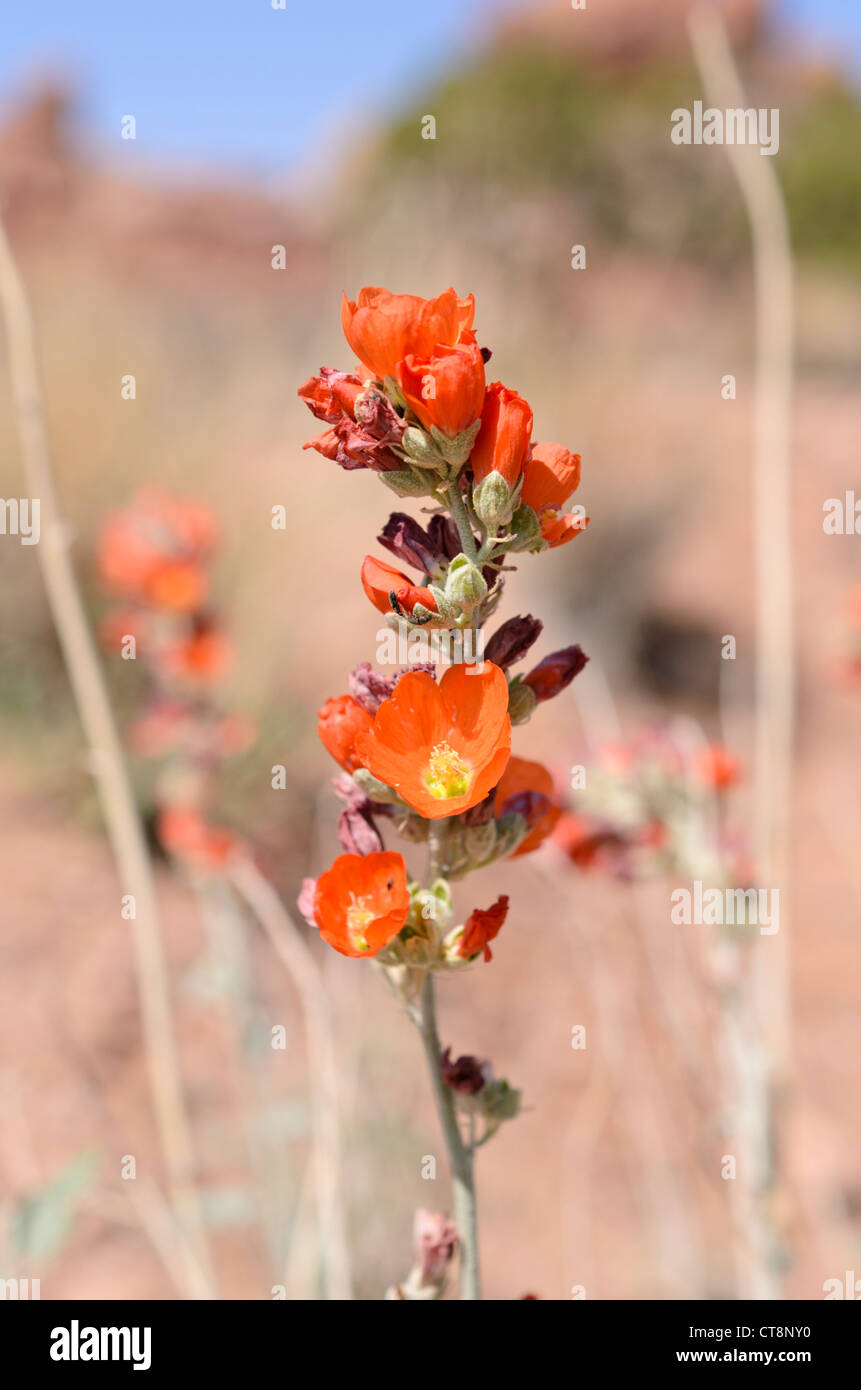 Small-leaved globe mallow (Sphaeralcea parvifolia) - Stock Image