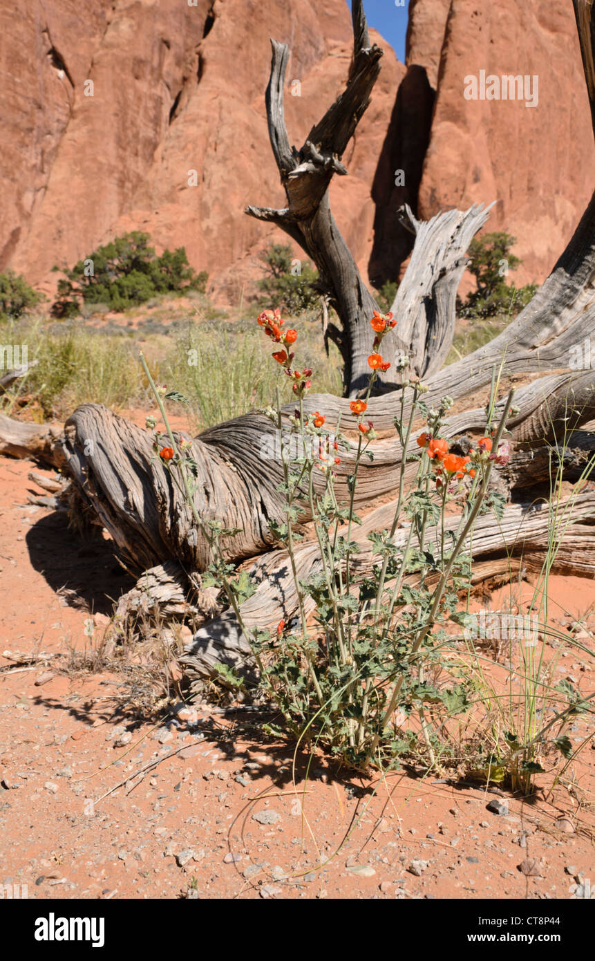 Small-leaved globe mallow (Sphaeralcea parvifolia), Arches National Park, Utah, USA - Stock Image