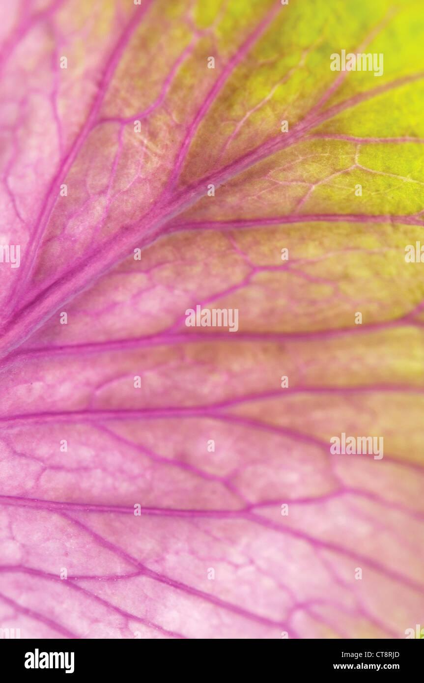 Brassica oleracea, Cabbage, Ornamental cabbage - Stock Image