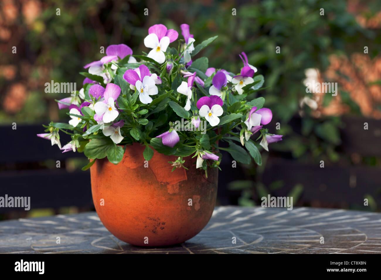 Viola - Stock Image