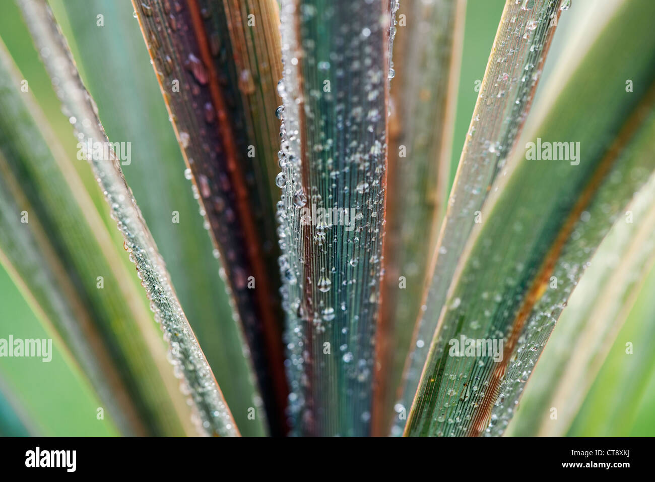 Cordyline australis 'Sundance', Cordyline, Close up of leaves with frost. Stock Photo