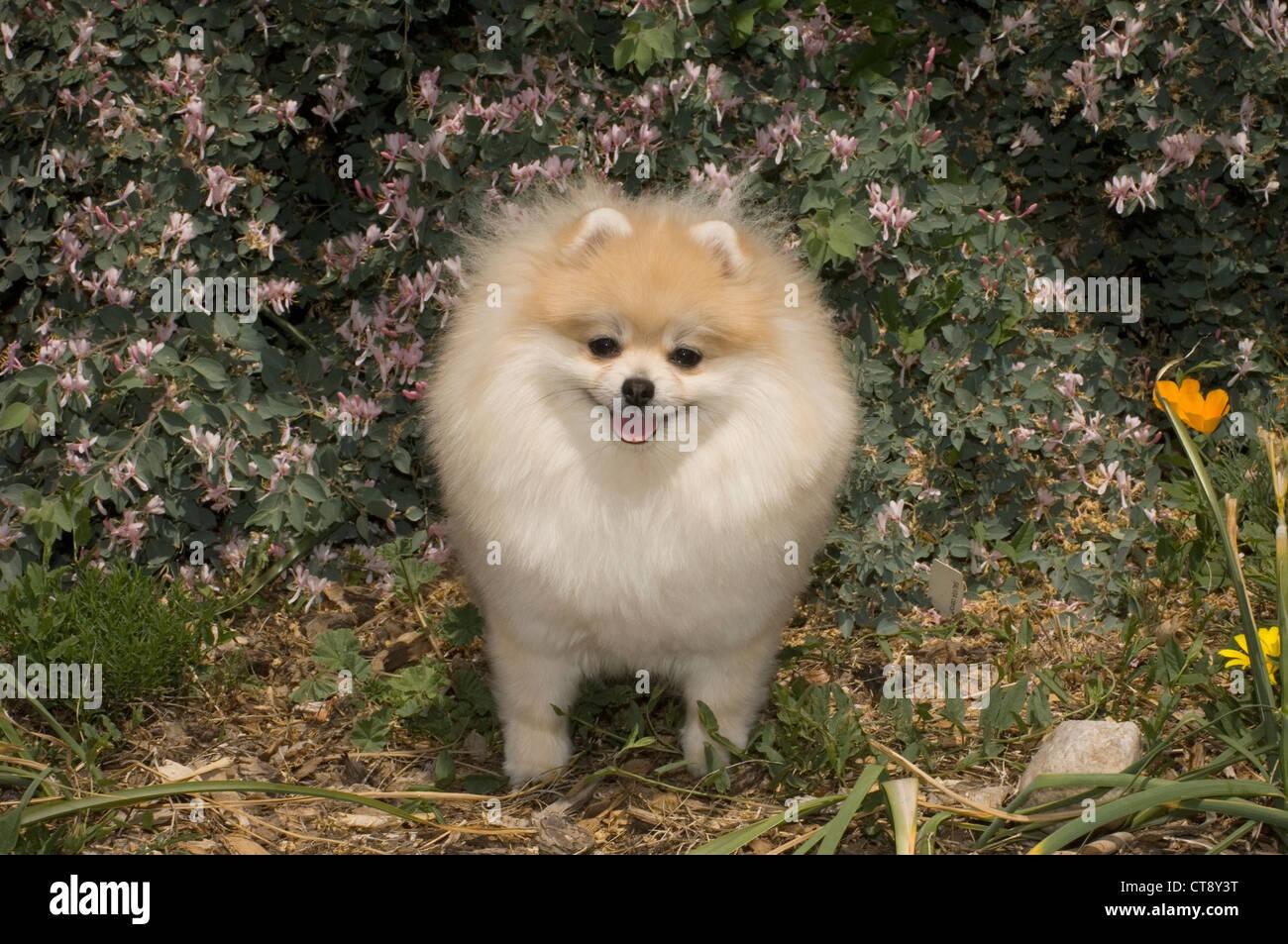Pomeranian in flowers - Stock Image