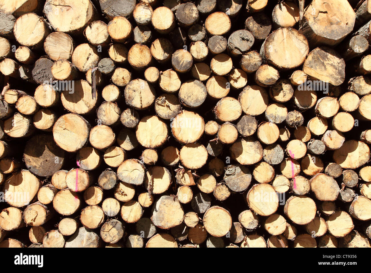 Woodpile in a forest. Stacked tree trunks, ready to be transported to a sawmill. Stock Photo