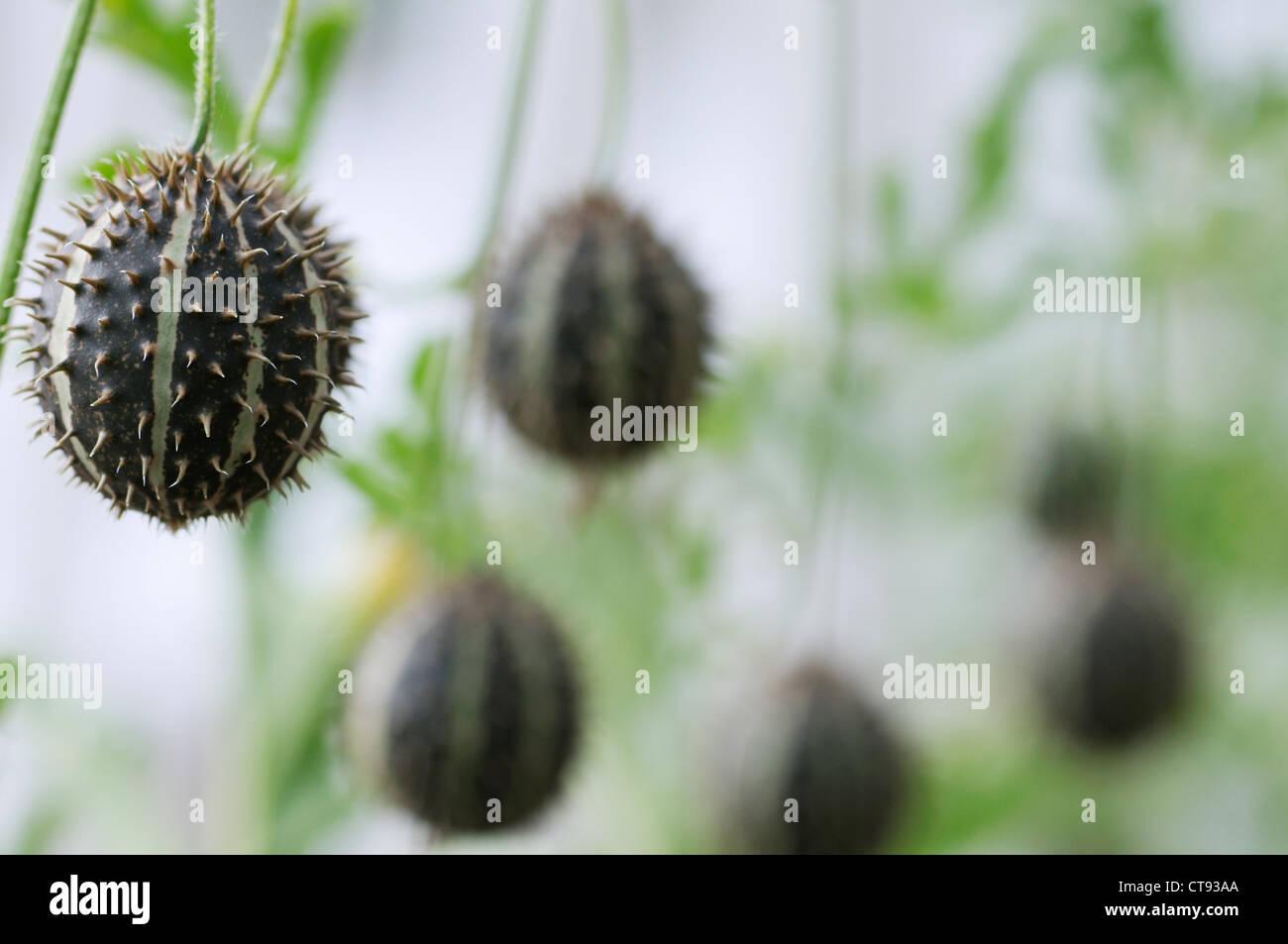 Cucumis ornamentale, Cucumber, Ornamental - Stock Image