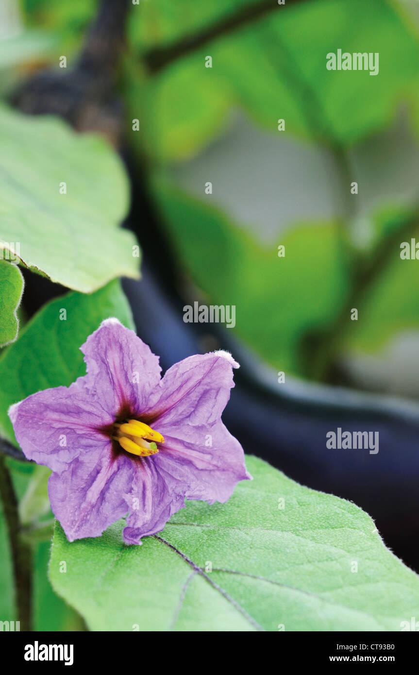 Solanum melongena, Aubergine Stock Photo