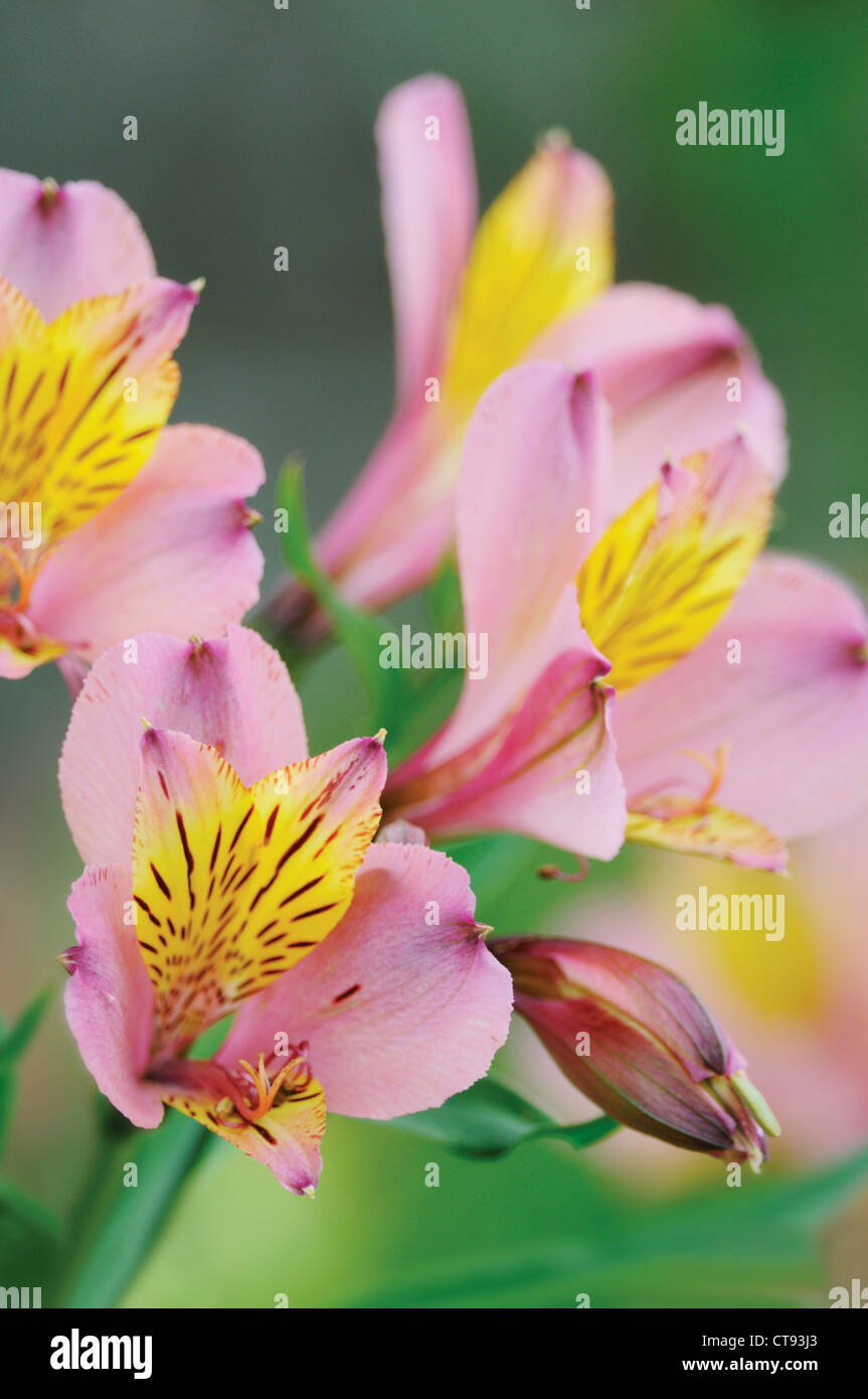 Alstroemeria, Alstroemeria, Peruvian lily Stock Photo