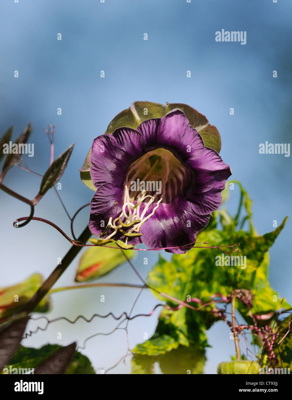 Cobaea scandens, Cup and saucer - Stock Image