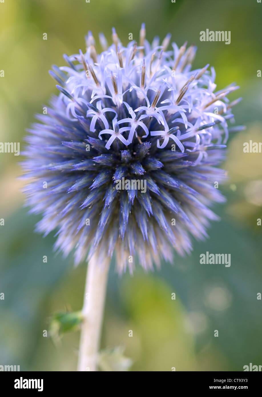 Echinops bannaticus 'Taplow blue', Globe thistle. Blue flower. - Stock Image
