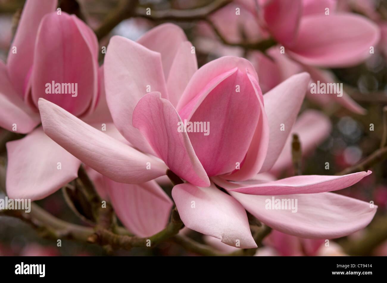 Magnolia campbellii, Magnolia Stock Photo