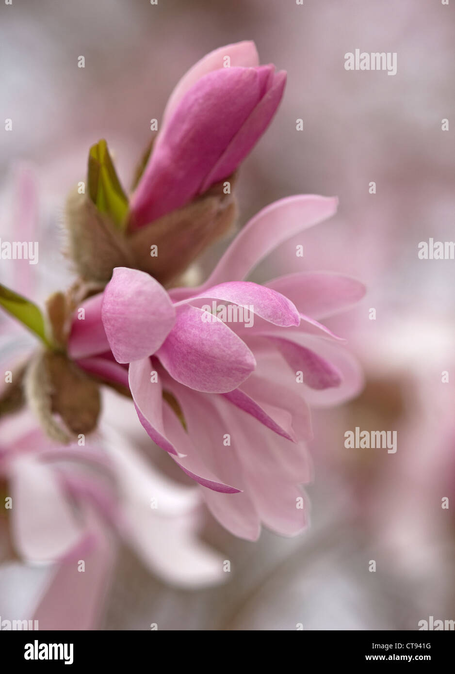Magnolia x loebneri 'Leonard Messel', Pink flower and bud opening on a tree. Stock Photo