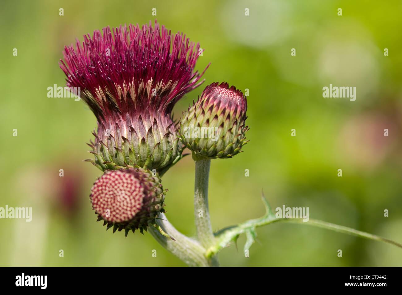 Cirsium rivulare 'Atropurpureum', Cirsium - Stock Image