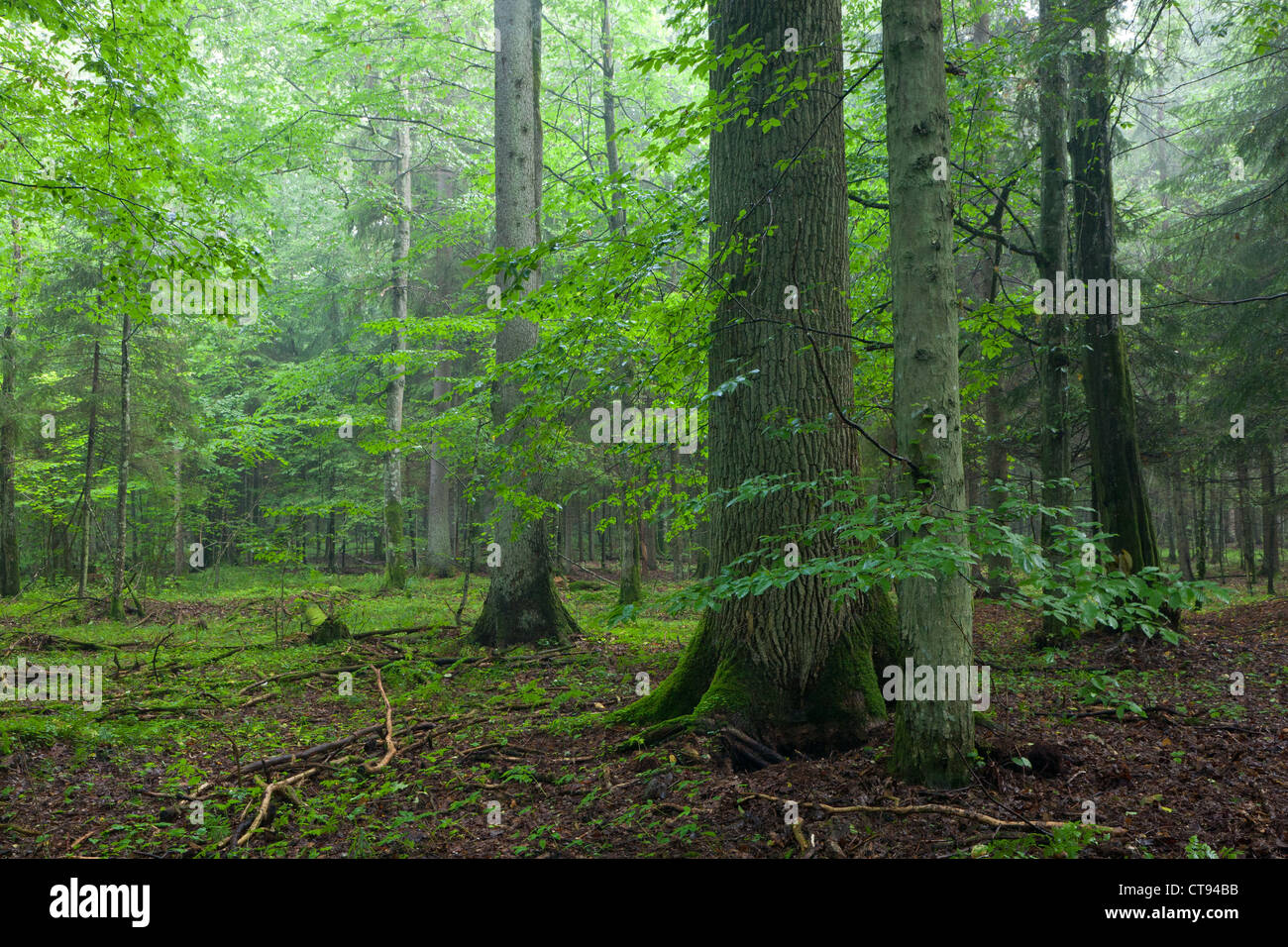 Misty morning deciduous stand with old oak tree in foreground and spruces in background - Stock Image