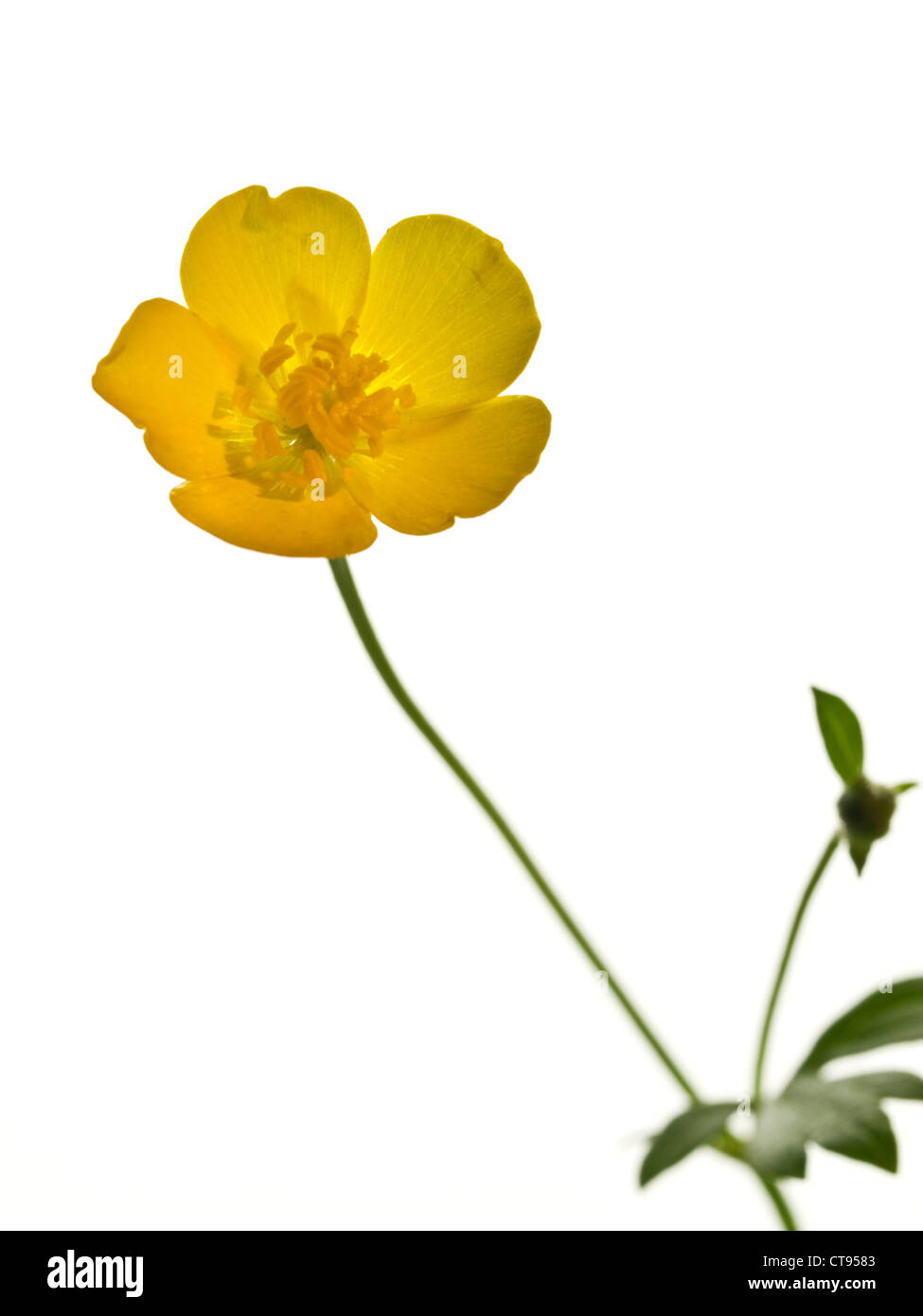 Creeping Buttercup Ranunculus repens (Ranunculaceae) flower head against a white background Stock Photo