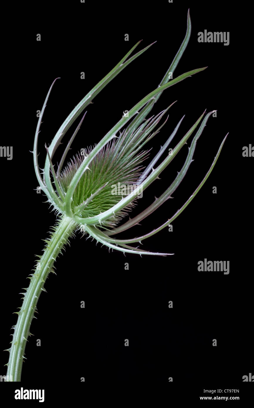 Close Up of a Thistle or Teasel on a Black Background. - Stock Image