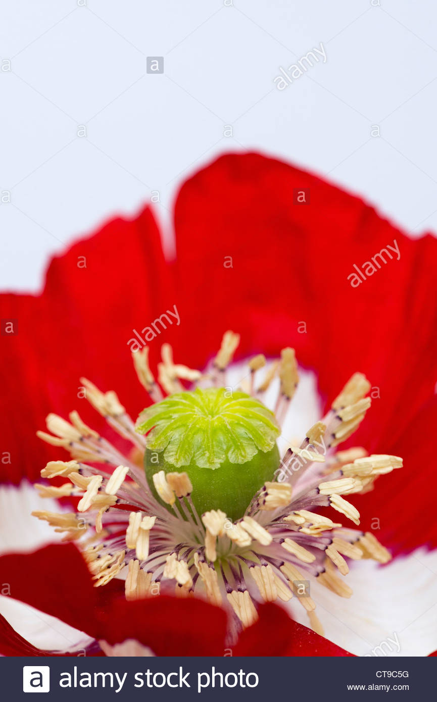 Red and white poppies petals stock photos red and white poppies papaver somniferum victoria cross poppy flower against white background stock image mightylinksfo