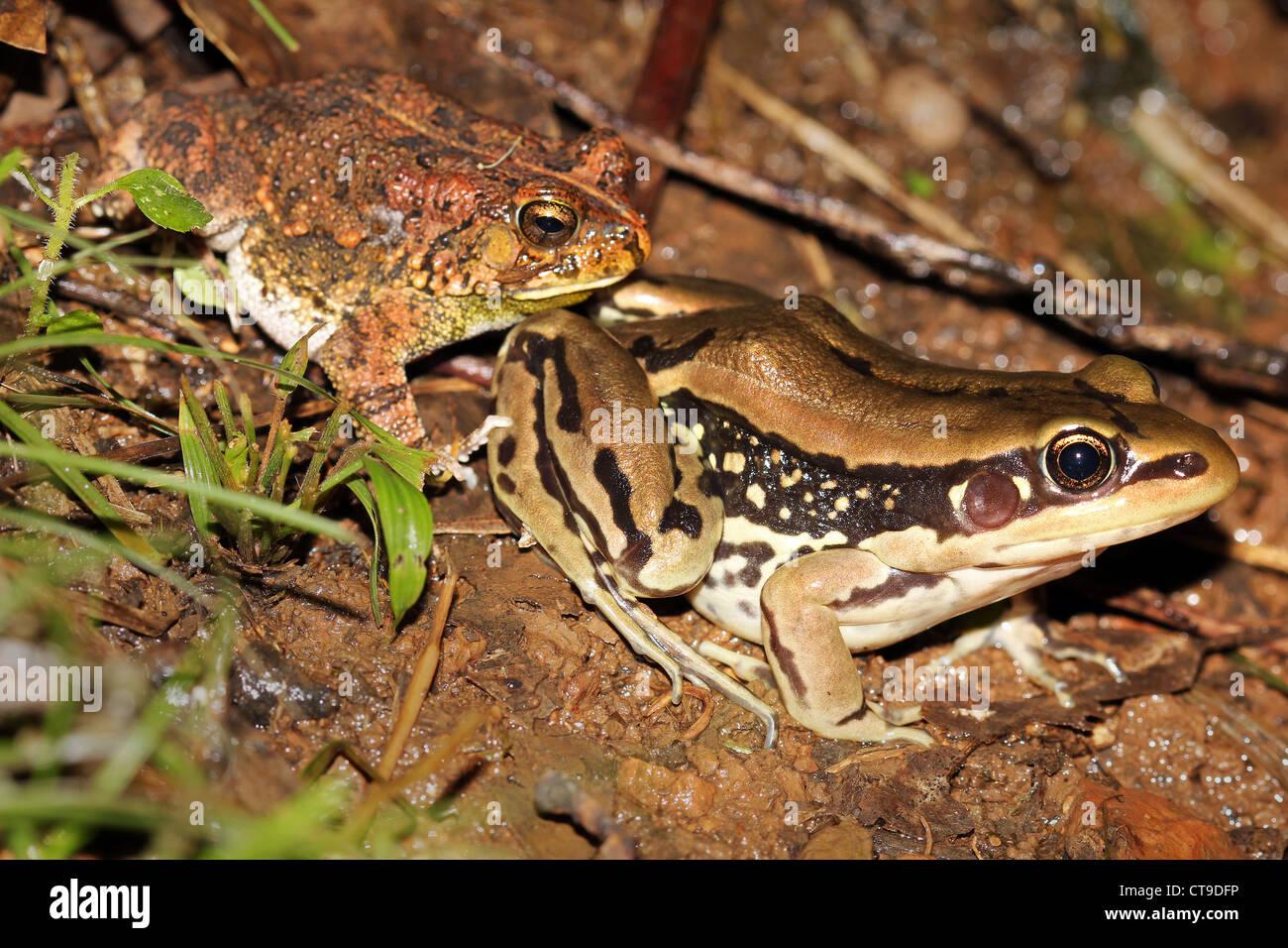 Galam White-lipped Frog (Hylarana galamensis) and TOAD in Uganda, Africa. Found along the Nile River in Jinja, Uganda. - Stock Image