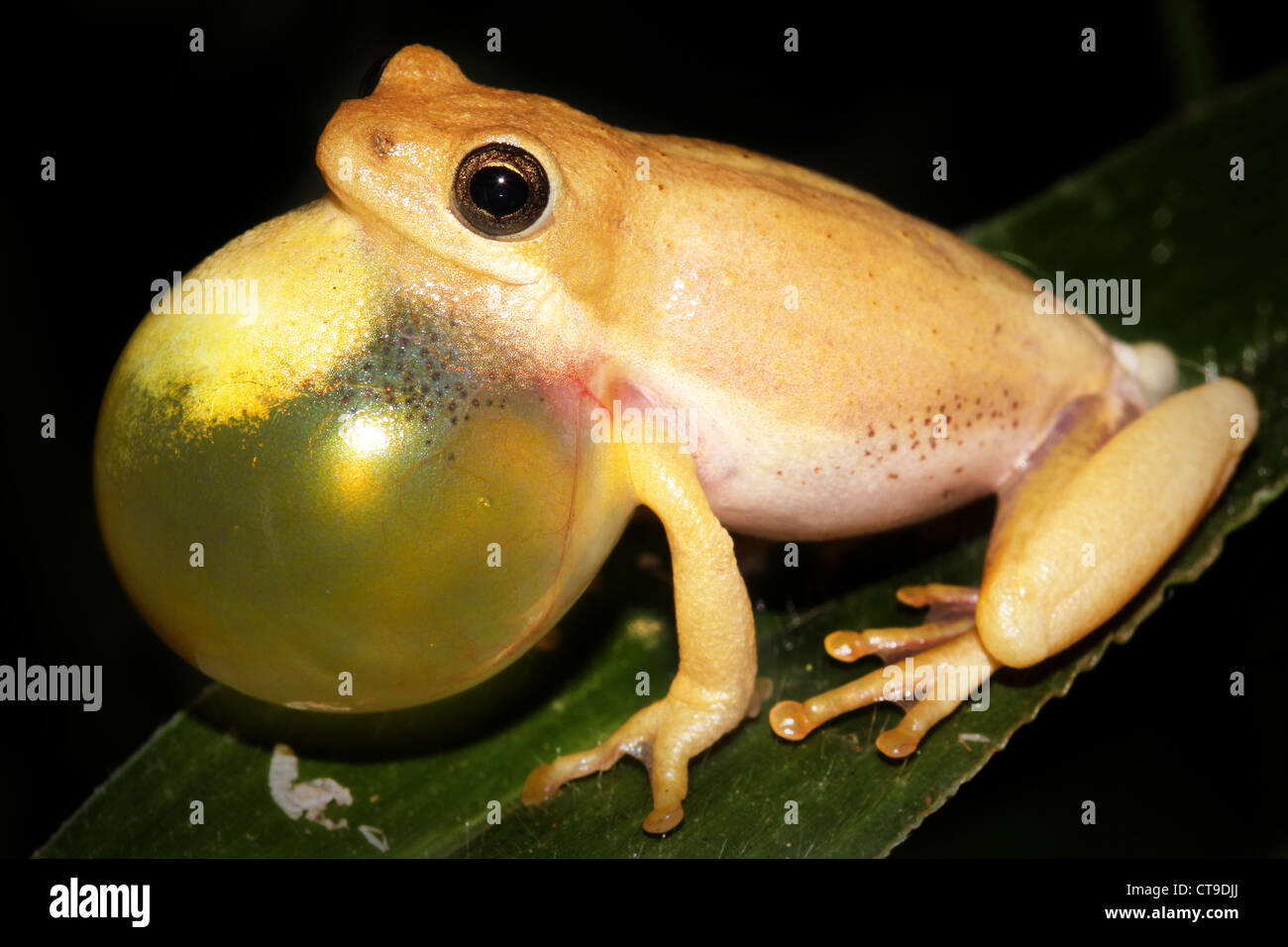 Male Painted Reed Frog Hyperolius Marmoratus Calling During The Night Ct Djj