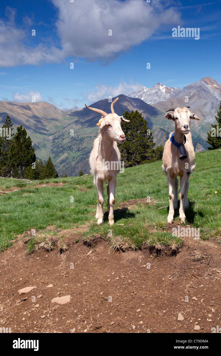Goats; Mirador del Molar; Pyrenees; Spain - Stock Image
