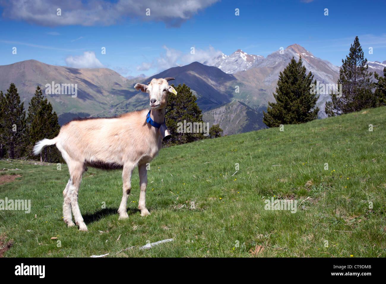 Goat; Mirador del Molar; Pyrenees; Spain - Stock Image