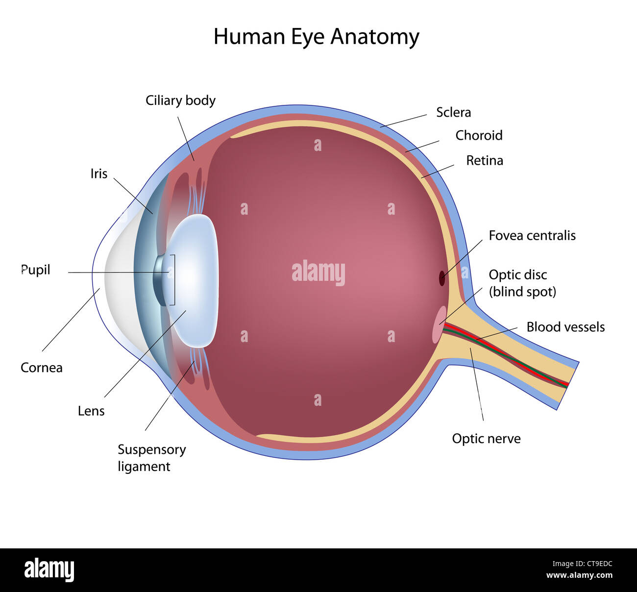Cross Section Of Human Eye Stock Photo 49381400 Alamy