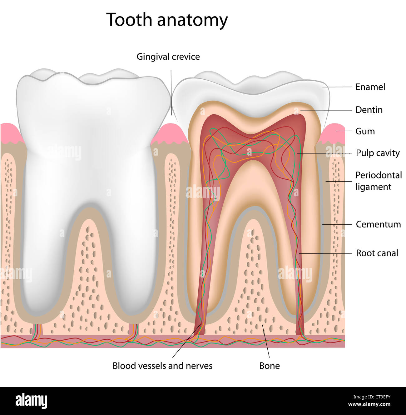 Tooth Nerves Stock Photos Tooth Nerves Stock Images Alamy