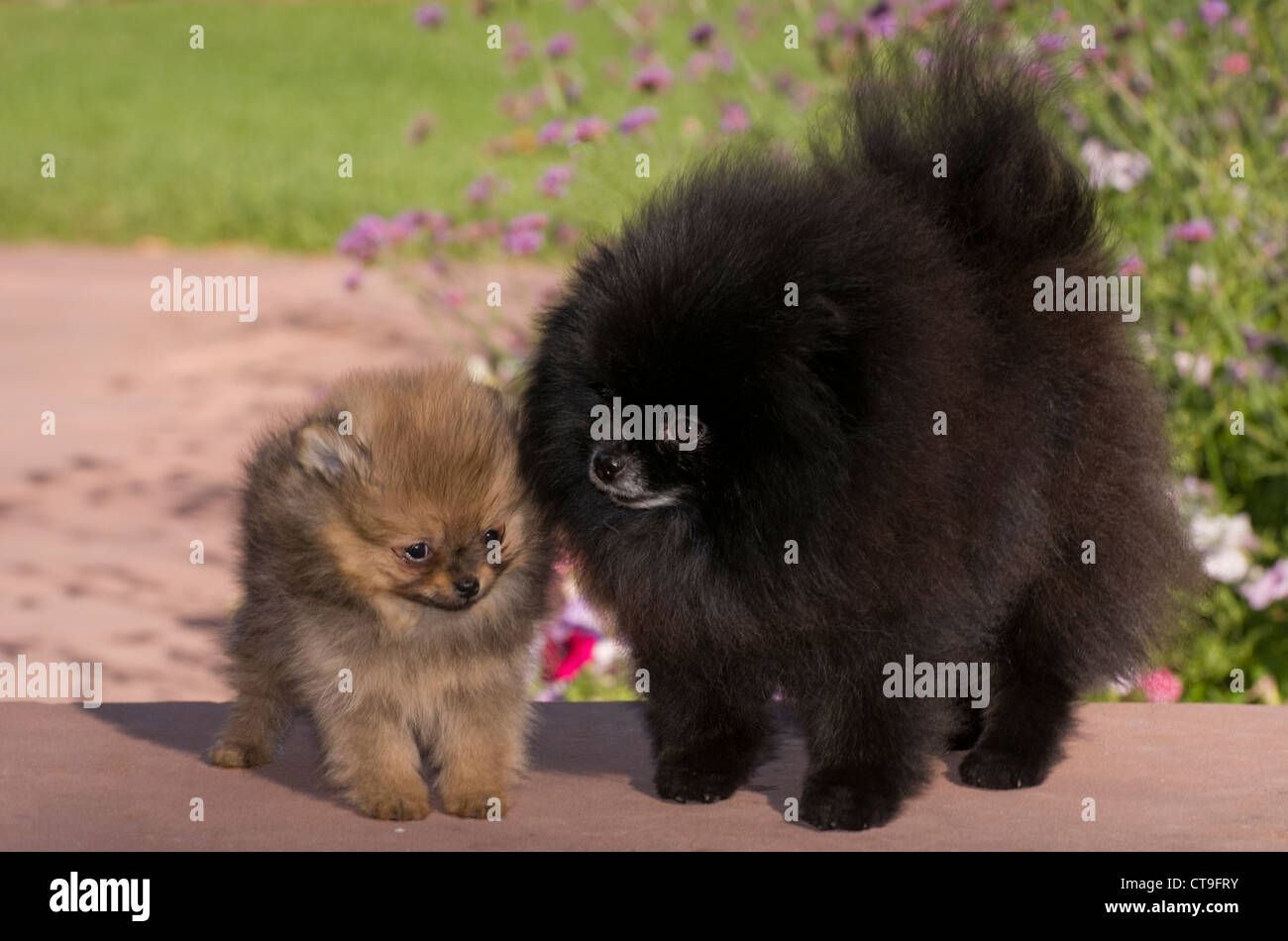 Pomeranian and puppy - Stock Image
