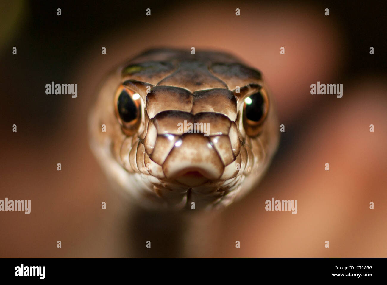 Close-up of a coachwhip snake (Masicophis flagellum) Stock Photo