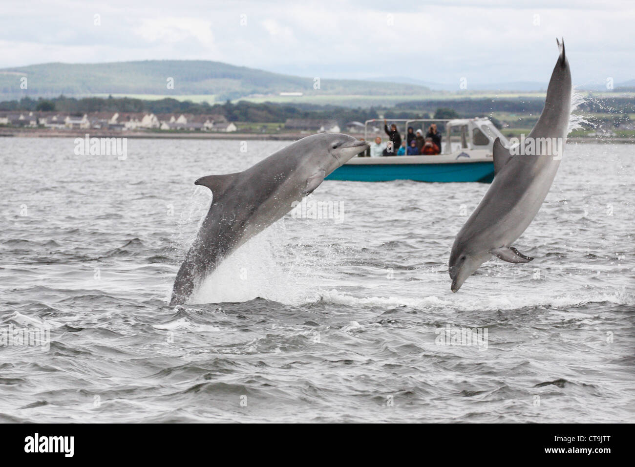 Dolphin watching boat and two Bottlenose Dolphins (Tursiops truncatus) leaping, breaching in the Moray Firth, Scotland, - Stock Image