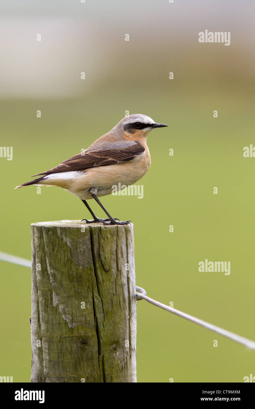 Male Wheatear on fencepost - Stock Image