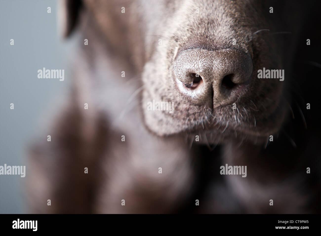 Close up of Labrador's Nose - moisture droplet on nostril - Stock Image