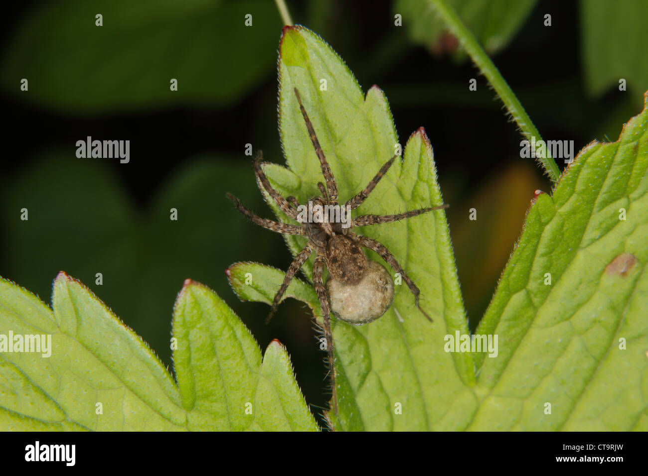 Wolf spider (Pardosa lugubris) - Female with cocoon on a leaf - Stock Image