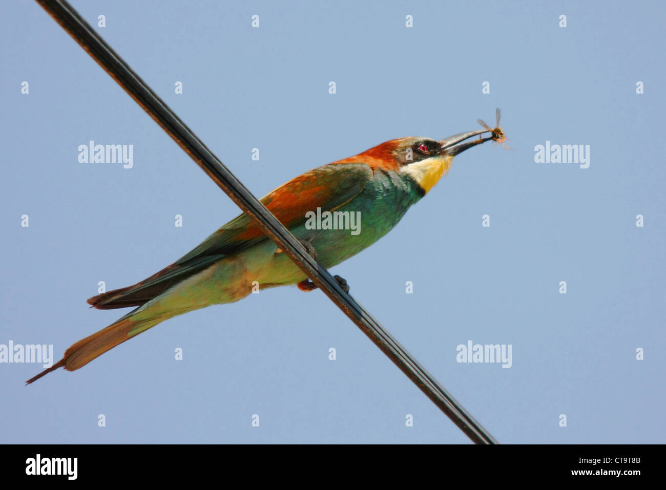 Bee Eater And Wasp Stock Photos & Bee Eater And Wasp Stock Images ...