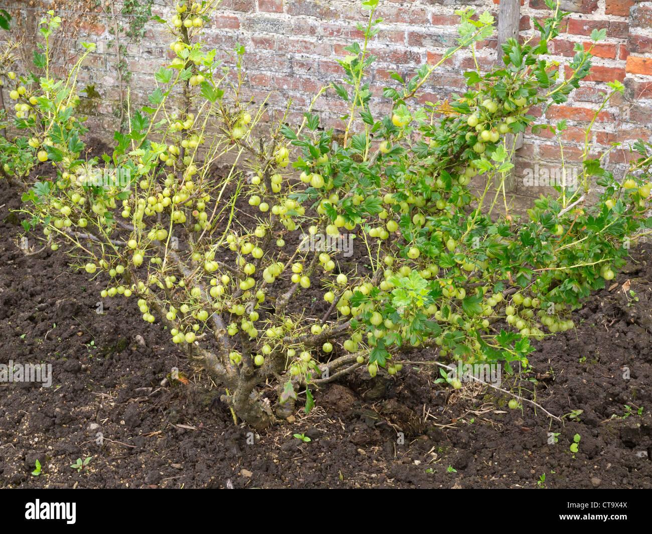 gooseberry bush with masses of ripe berries at helmsley walled garden stock image - Bush Garden