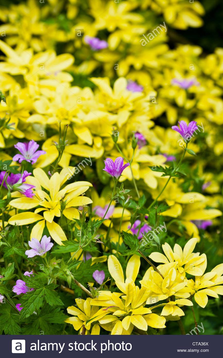 Cranesbill Hardy Geranium Cedric Morris Summer Flower Perennial July