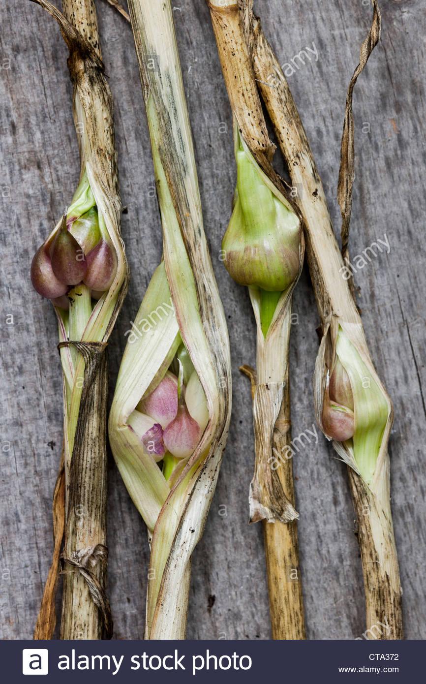 Garlic stem bulbils Allium sativum summer herb culinary organic home grown July kitchen garden plant - Stock Image