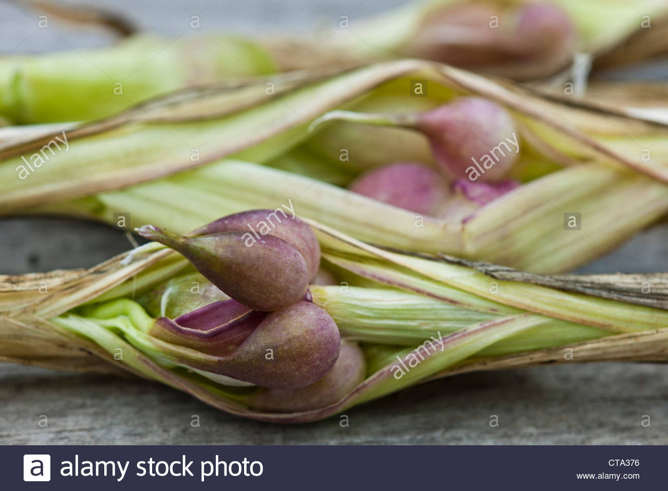 Garlic stem bulbils Allium sativum summer herb culinary organic home grown July kitchen garden plant - Stock Image