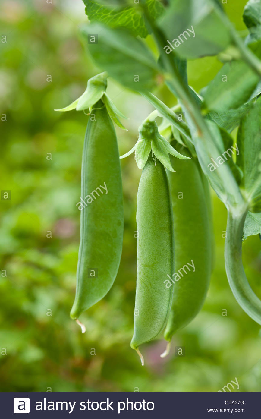 Pea Sugar Snap Pisum sativum vegetable summer June home grown edible organic kitchen garden plant green organic - Stock Image