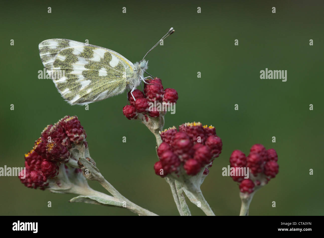 Bath White (Pontia daplidice) Butterfly Red Everlasting (Helichrysum sanguineum) Photographed in Israel in May Stock Photo