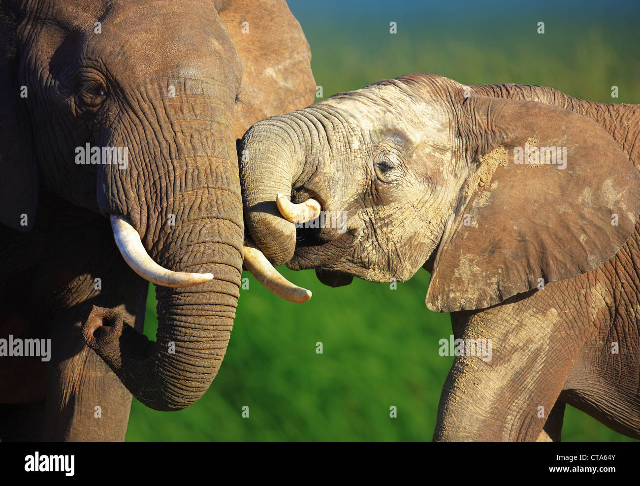 Elephants touching each other gently - Addo National Park - South Africa - Stock Image