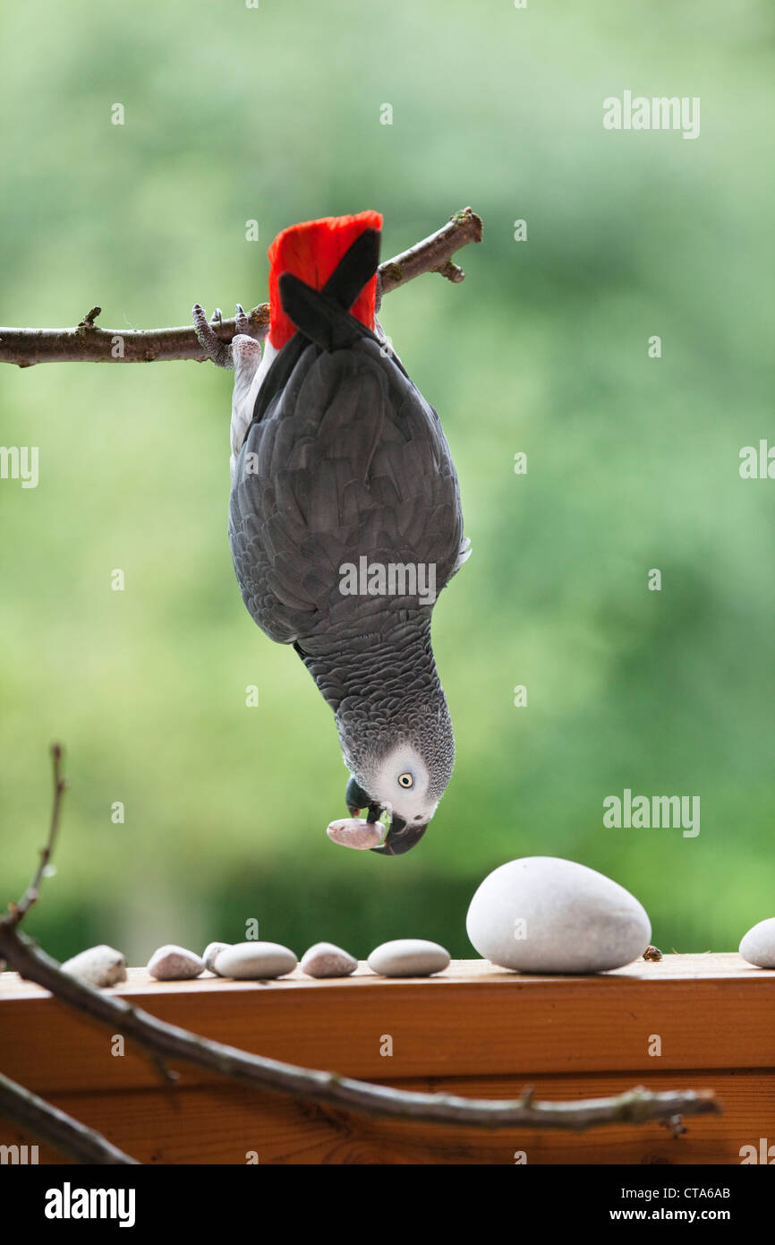 African Grey Parrot (Psittacus erithacus) hanging on a branch, Parrot - Stock Image