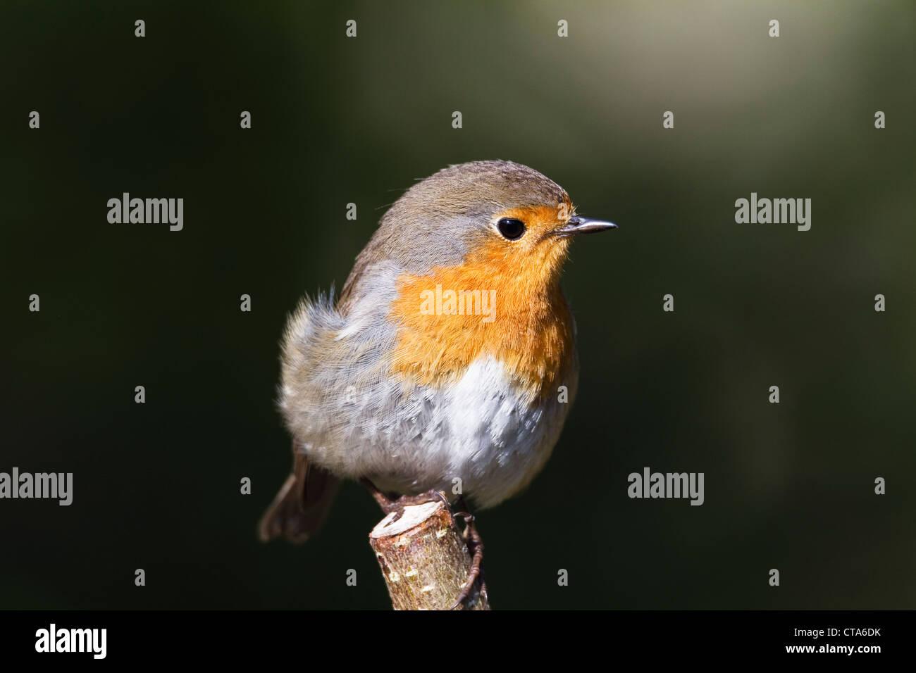European Robin (Erithacus rubecula), Bavaria, Germany - Stock Image