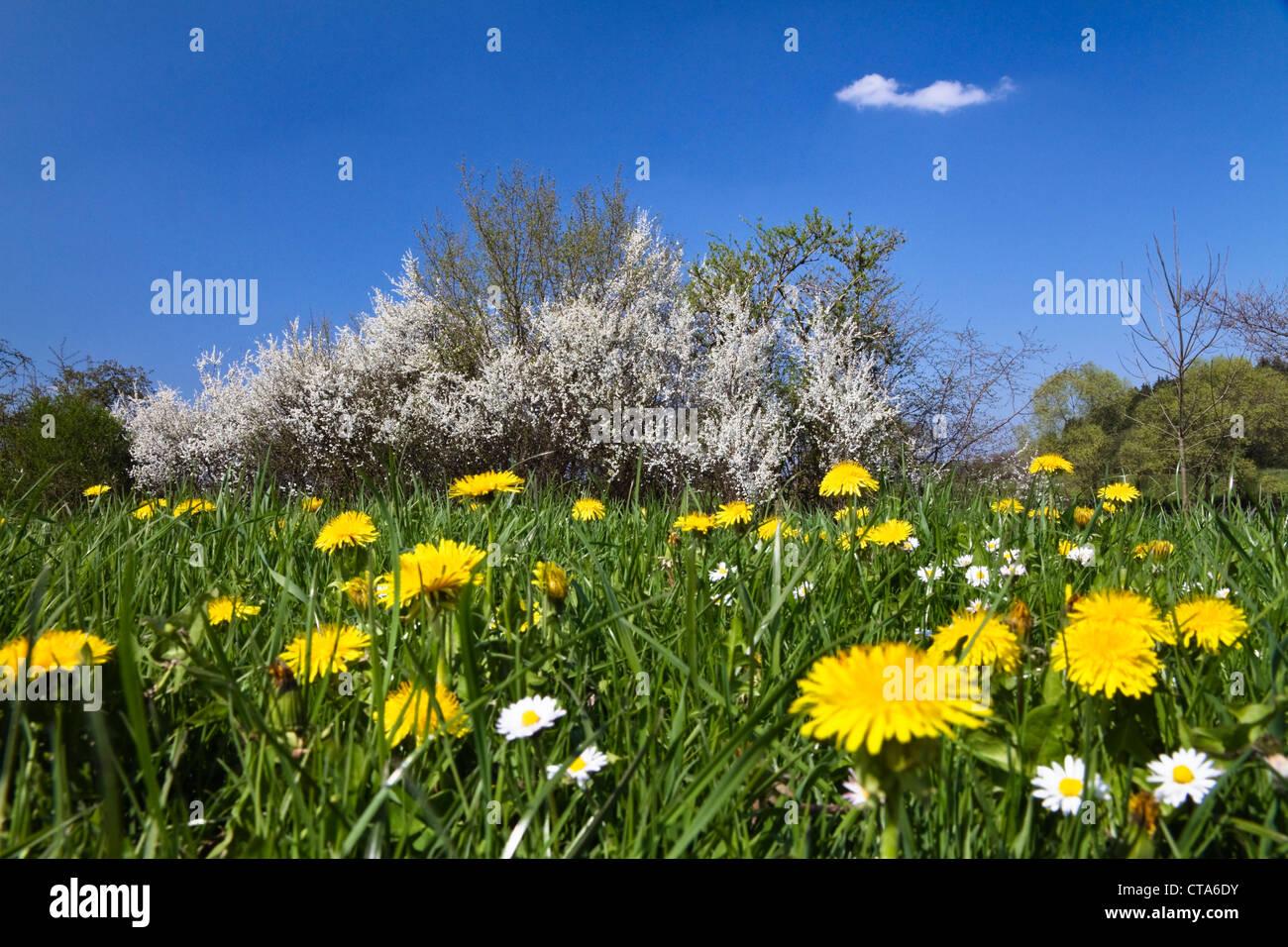 Blackthorn in flower (Prunus spinosa), Bavaria, Germany - Stock Image