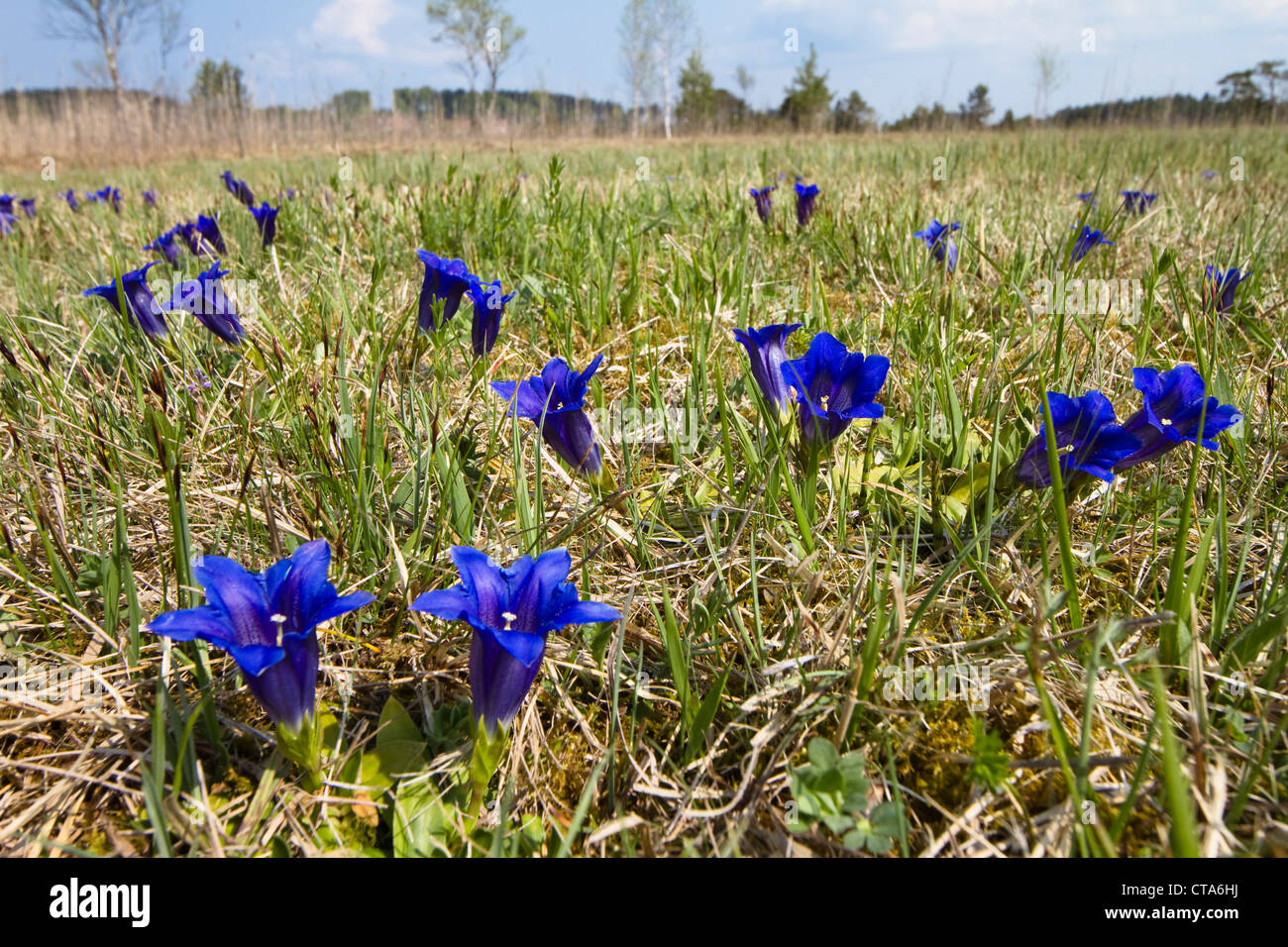 Meadow with gentians (Gentiana clusii), Upper Bavaria, Germany - Stock Image