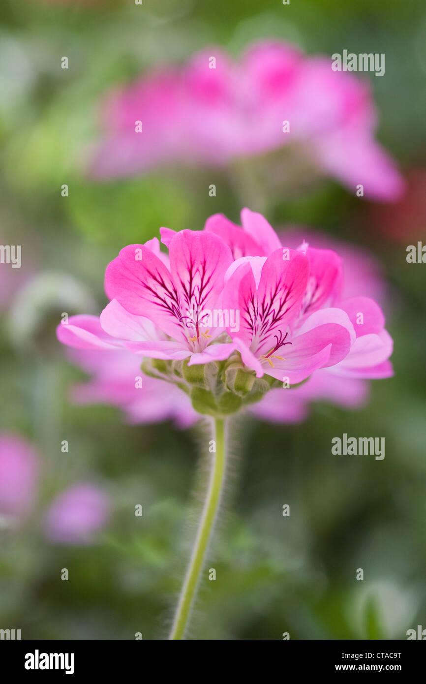Pelargonium 'Pink Crimson'. - Stock Image