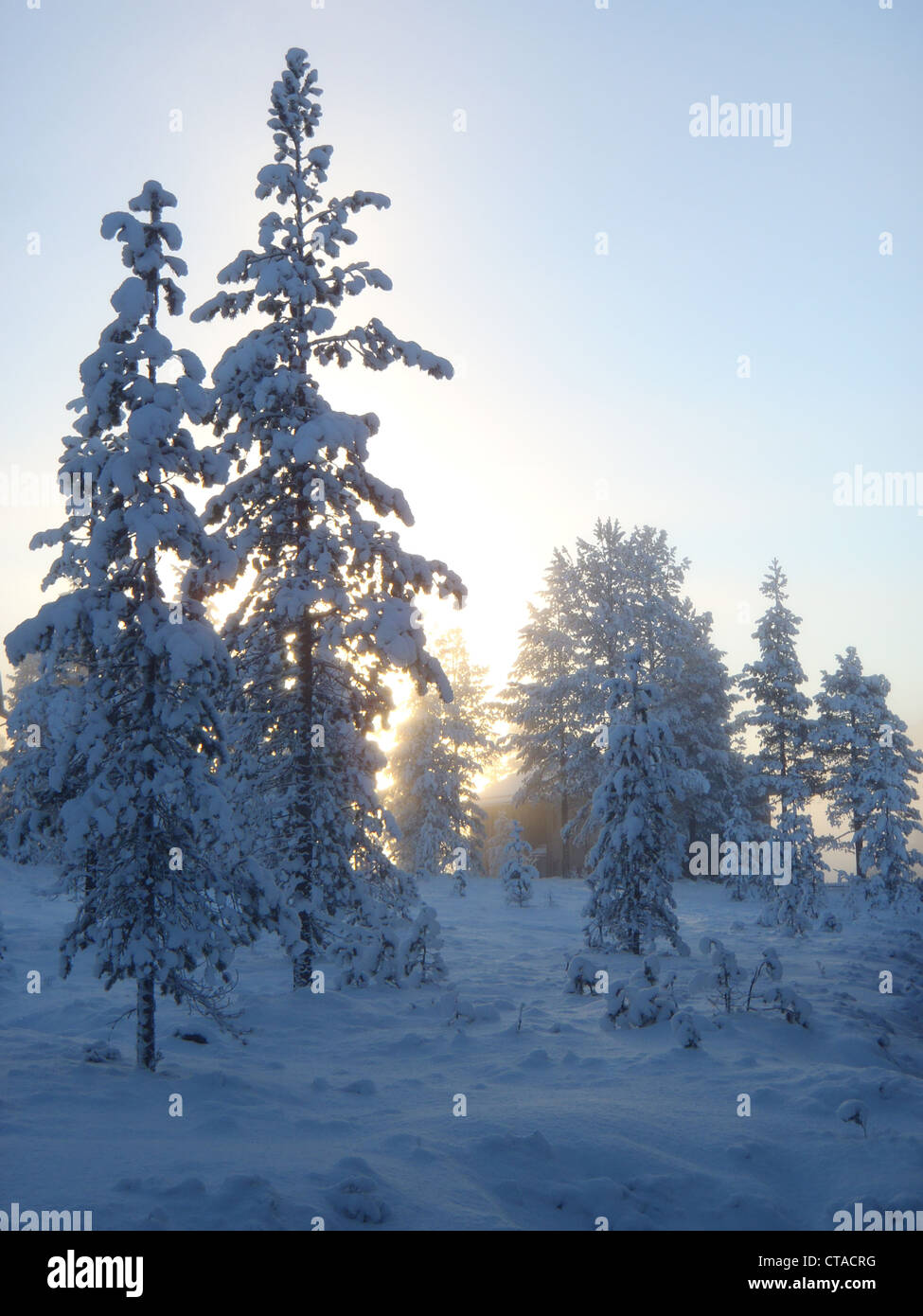 Sun shinning trough snowy pines - Stock Image