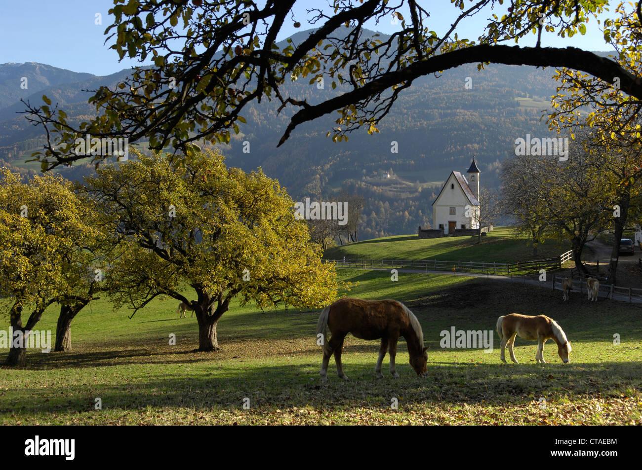 Haflinger horses graizing, farmstead chapel, Toerggelen, Keschtnweg, Moar zu Viersch, Valle Isarco, Suedtirol, Italien, - Stock Image