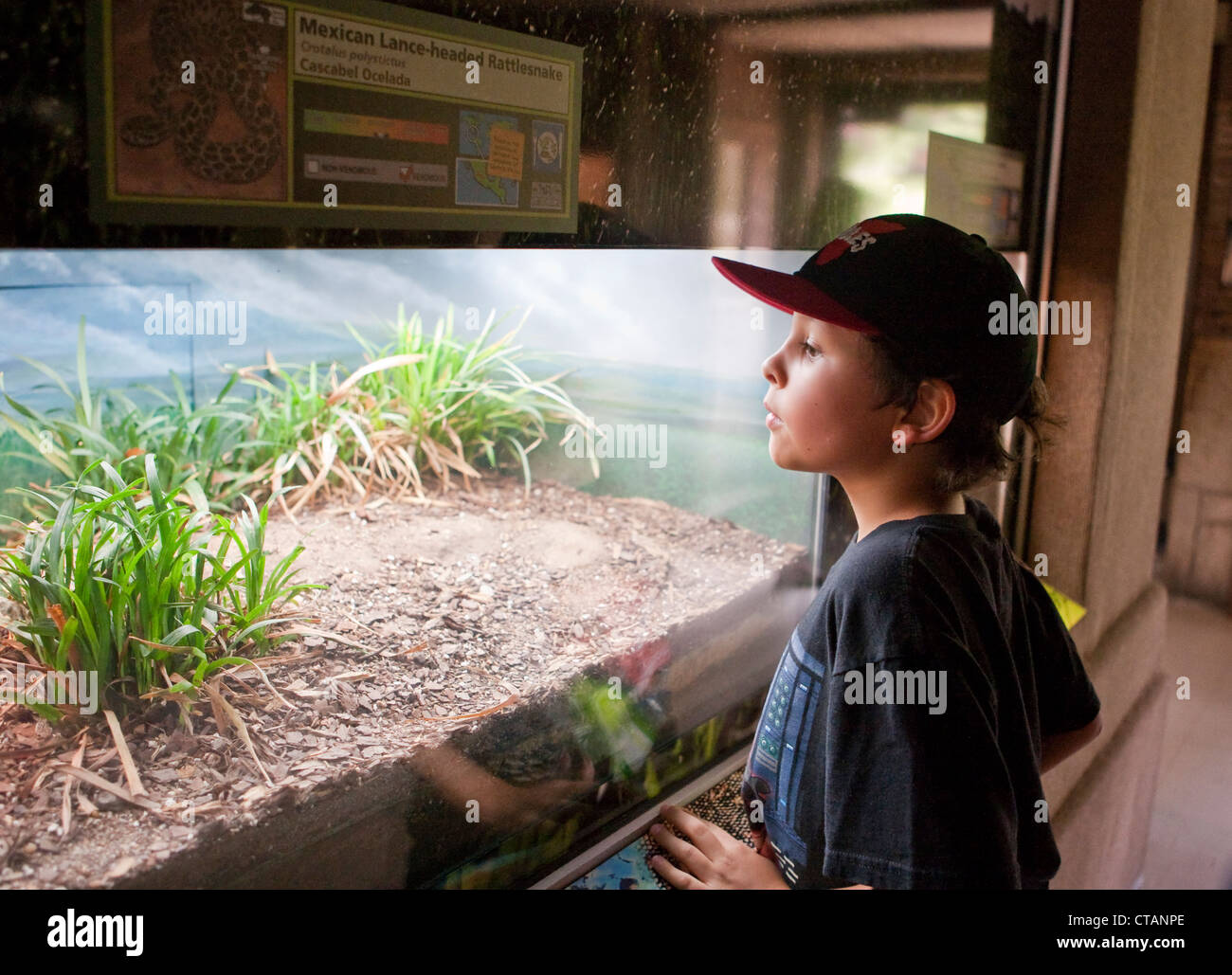 8 year old Mexican-American boy peaks into glass enclosure with rattlesnake at the San Antonio Texas Zoo. - Stock Image